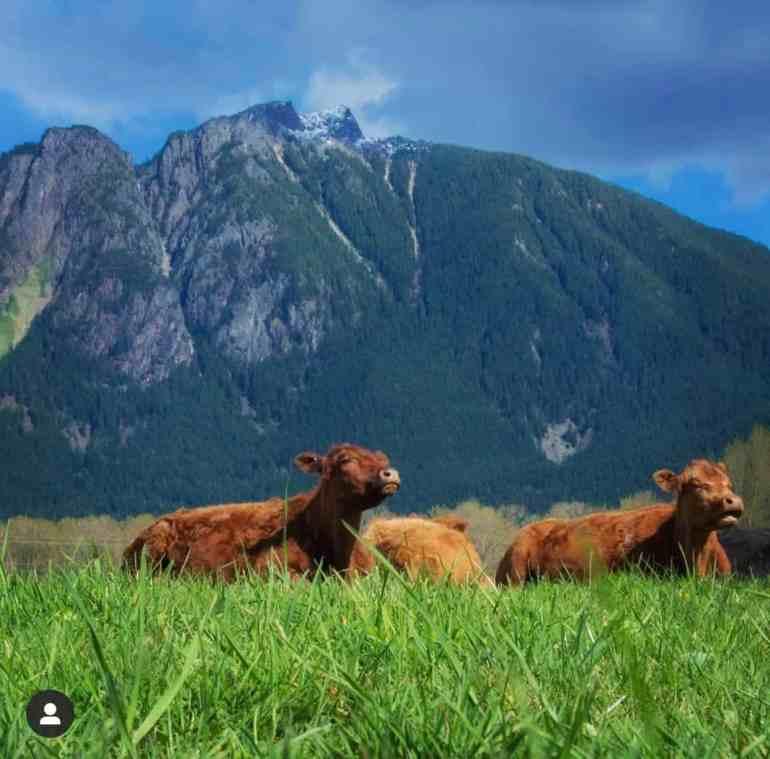 Cows at Tollgate Farm