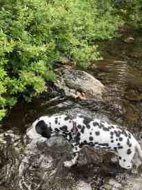 Dog Enjoying the Creek