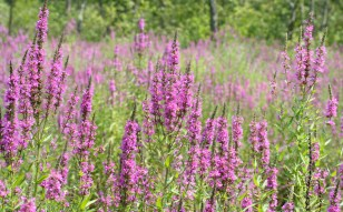 Purple_loosestrife