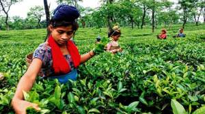 App for small tea growers launched