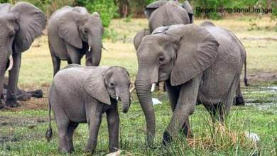 Photo of Assam: NGO files PIL against transfer of 4 Elephants from Assam to Gujrat on lease