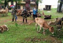 Meghalaya: BSF seizes 53 cattle from indo-bangla border