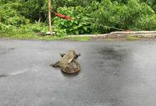 Assam: Asian Monitor Lizard knocked down by vehicle dies