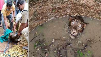 Assam: Leopard trapped in open well on the fringe of Garbhanga forest rescued