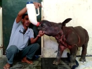 Assam: 10-day old Rhino calf rescued from flooded waters of Kaziranga National Park