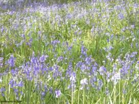 swaledale bluebells