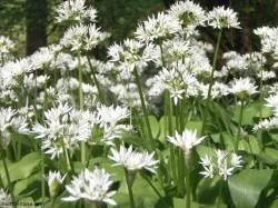 Wild garlic, Calfhall Wood, Richmond, Yorkshire