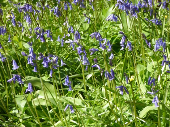 Bluebells, Easby, Yorkshire
