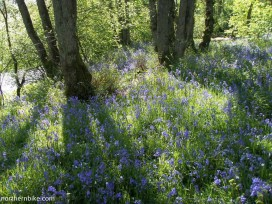 Bluebells, Swaledale, Yorkshire