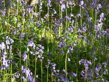 Bluebells, Billy Bank Woods, Richmond, Swaledale, Yorkshire