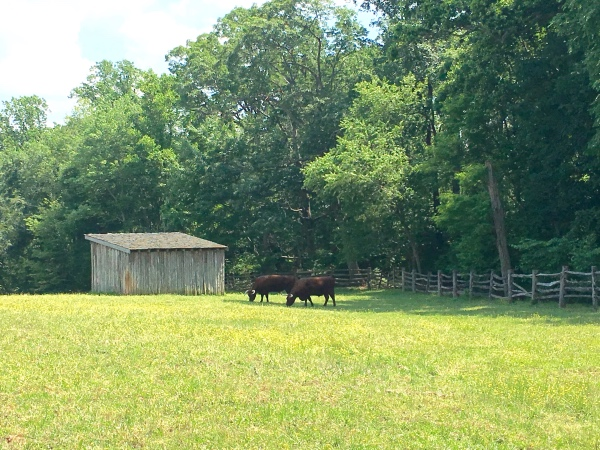 Bulls in the field at the Mount Vernon estate.