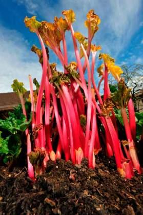 Force Rhubarb