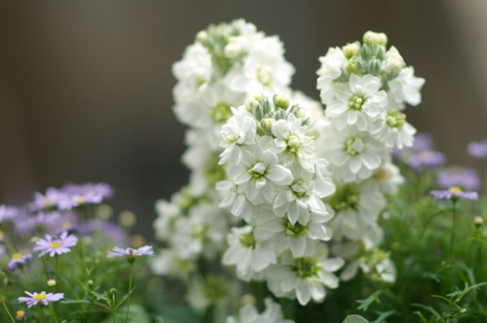 Night scented stocks scented garden