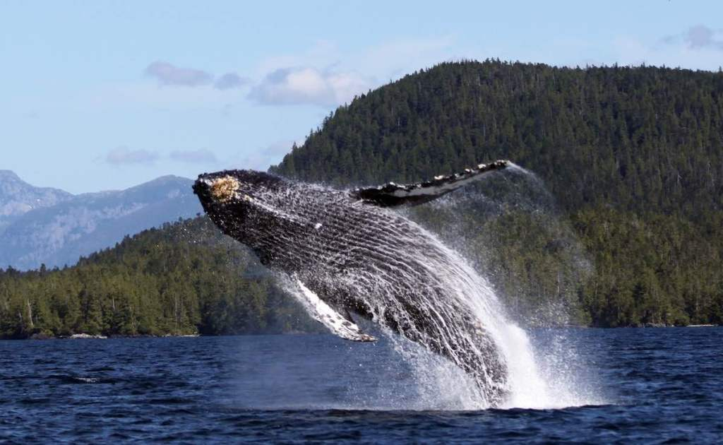 A breaching humpback whale with only their tail in the water. There is a blue sky and evergreen covered mountain in the distance.