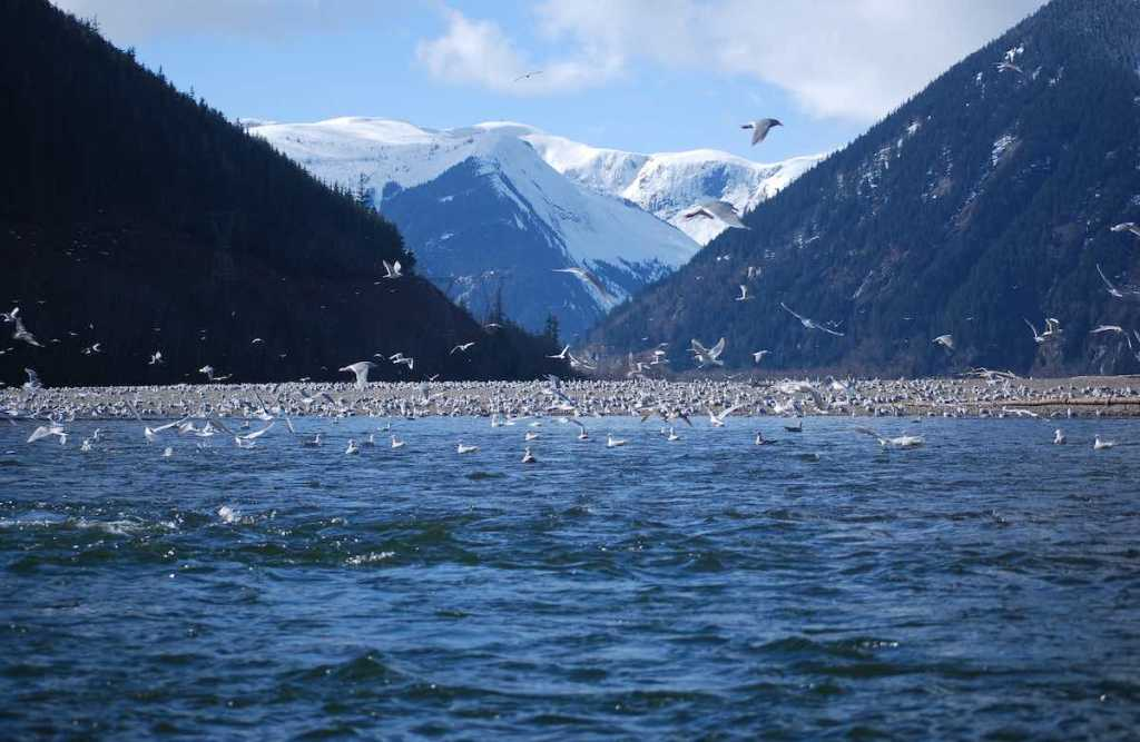 The ocean covered in a swarms of floating and flying seagulls. There are tall, snowy mountains in the background. The sky is blue with white clouds.