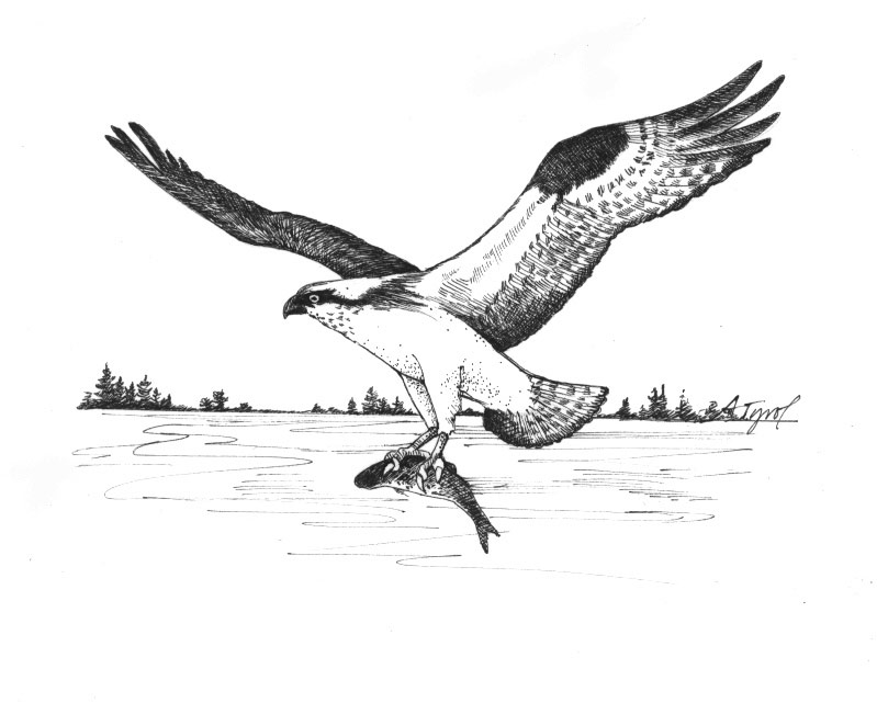 The Return Of The Osprey The Outside Story