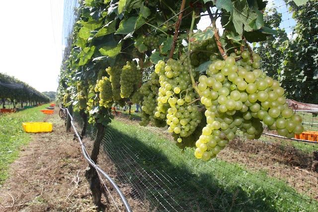 north fork harvest vineyard