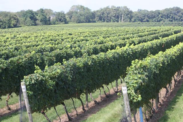 grape harvest north fork vineyard winery