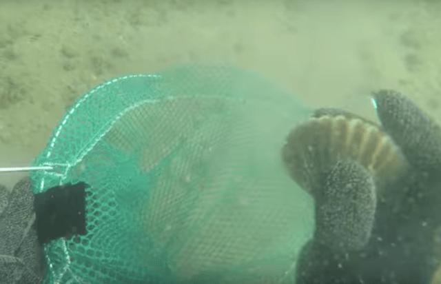 Chris Paparo underwater scallops
