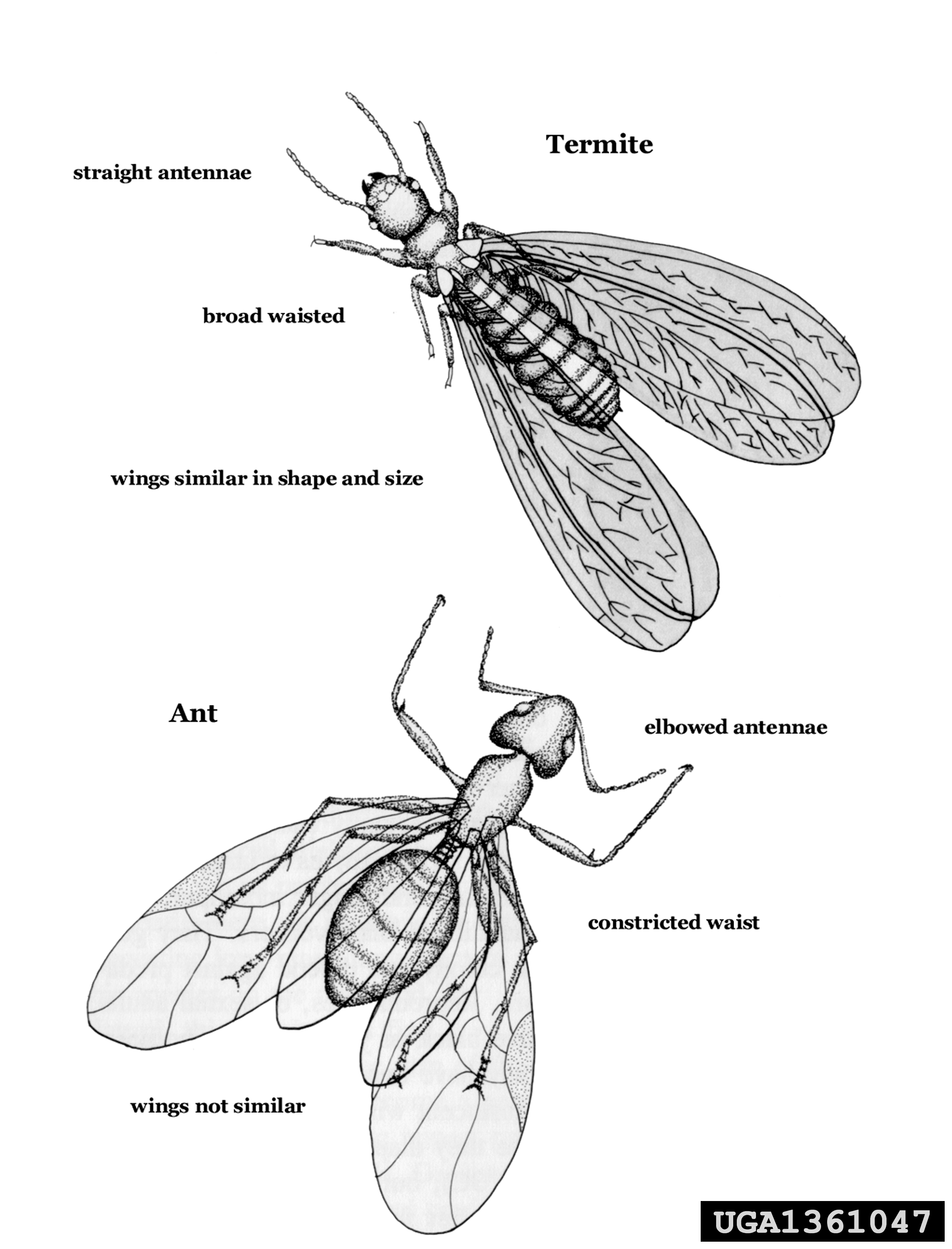 Termite Vs Ant Illustration