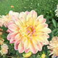 The Wondrous World of Dahlias