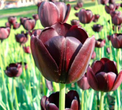 Rare Tulips of Amsterdam