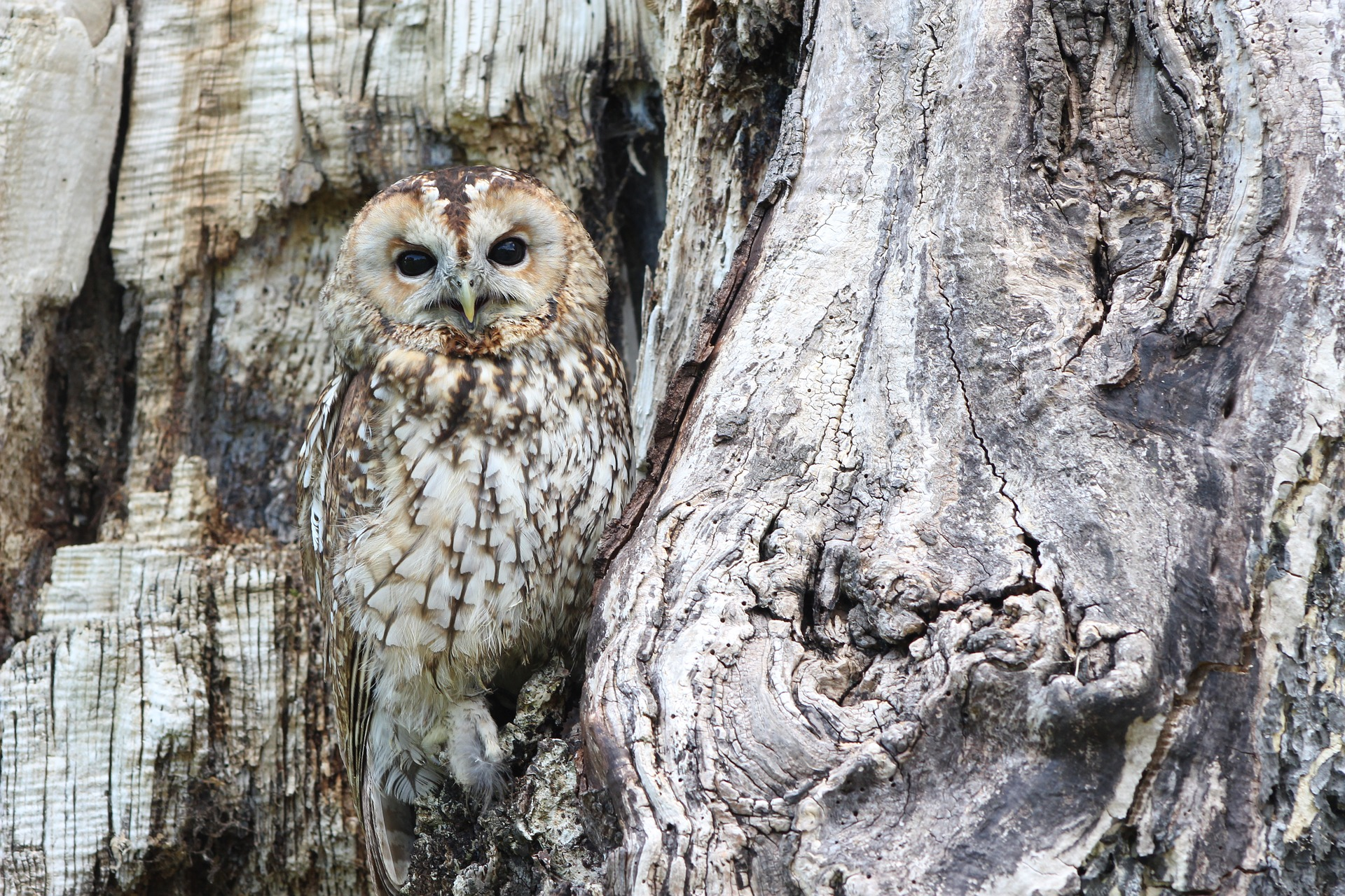 North Line OWL (owl in tree pictured)
