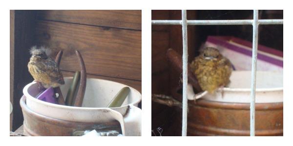 Robin preparing to flee the nest