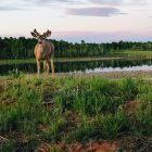 Deer by the Lake