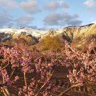 1) Ben Lomond in Spring;  2) Peach orchard in bloom, with Ben Lomond