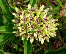 Tiffany-Creek-Preserve_green-milkweed