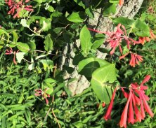 Wawapek_native-trumpet-honeysuckle
