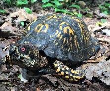 Cushman-Preserve_Box-Turtle