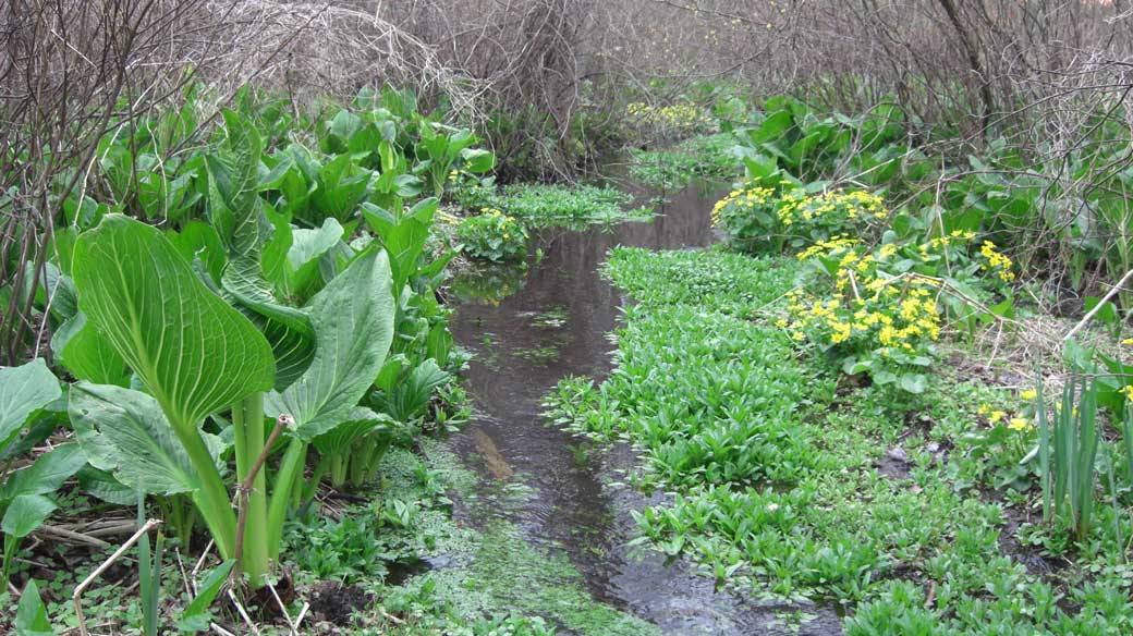 skunk-cabbage-and-marsh-marigold