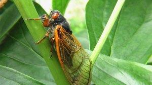 Cicadadas