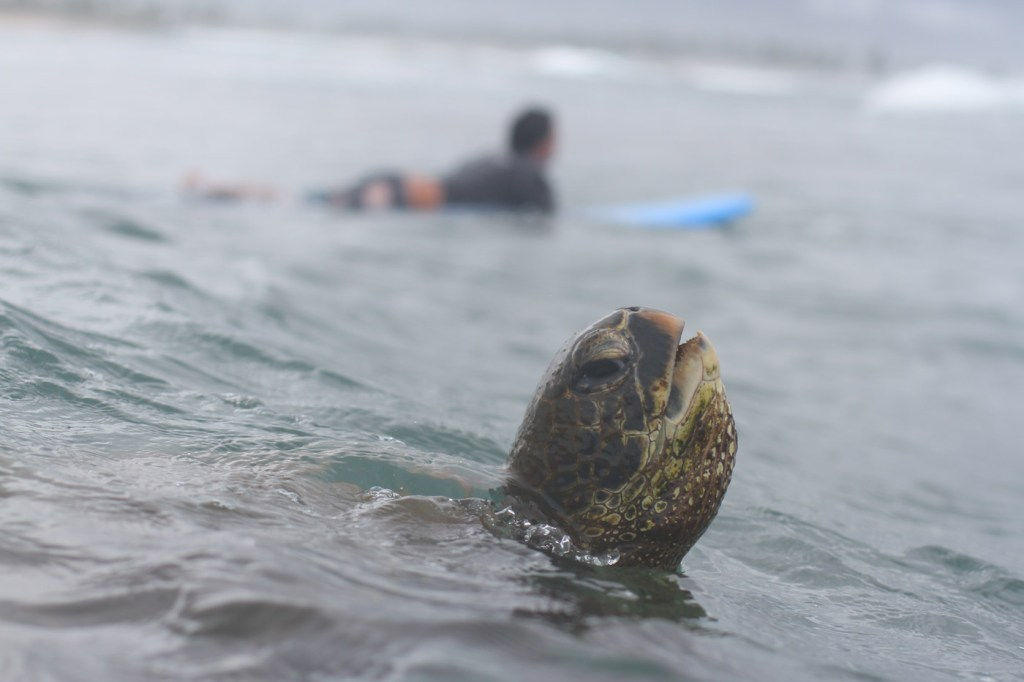 Learn to surf with turtles