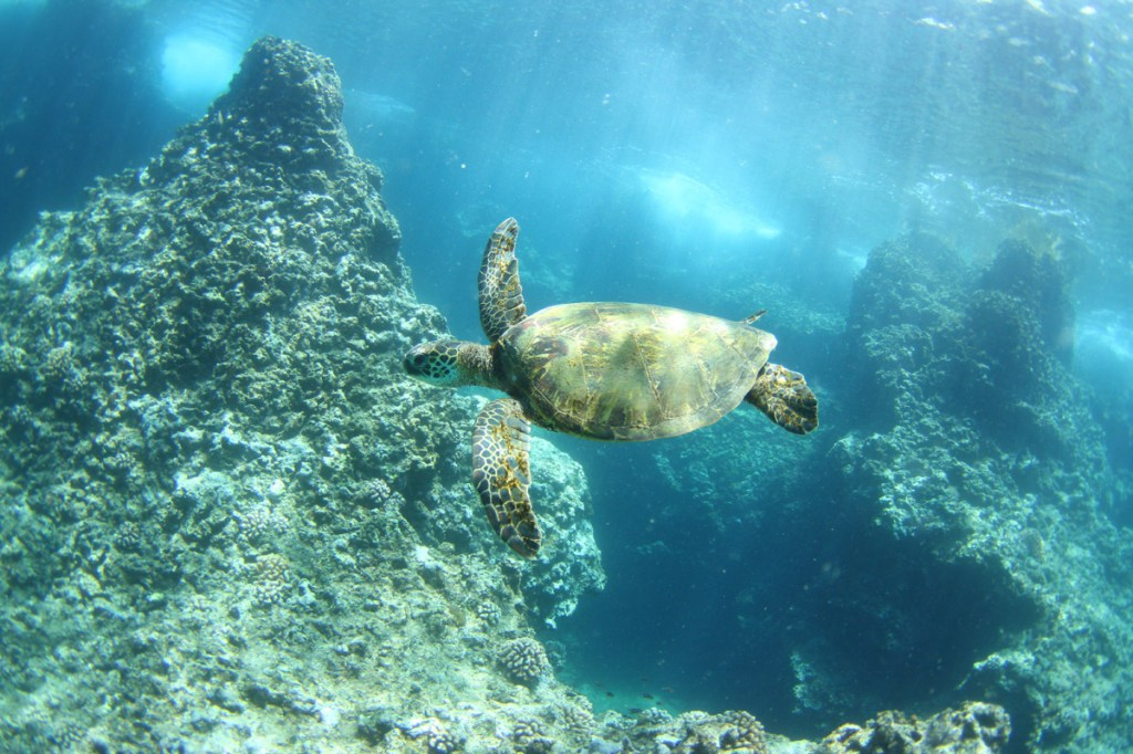 Turtle swimming at Puaena Point