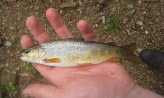 Brown Trout on a Griffith's Gnat