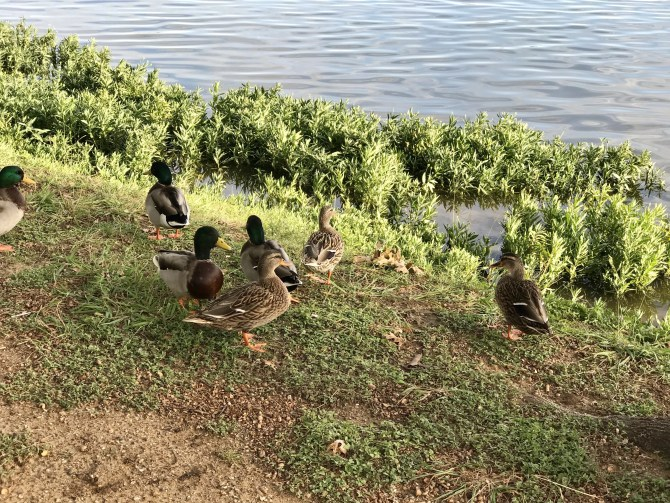 Ducks at Bachman Lake