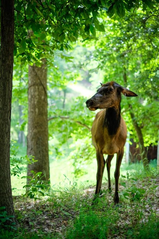 Elk at Lone Elk Park