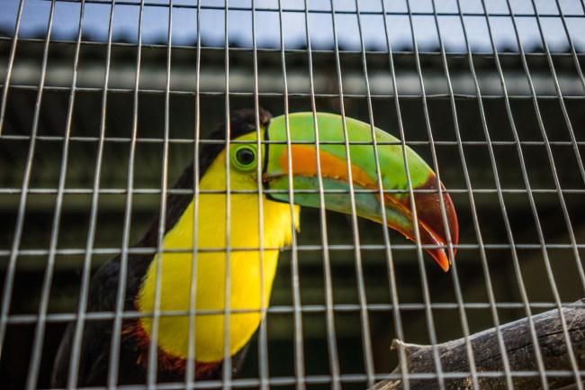 toucan at Toucan Rescue Ranch Costa Rica