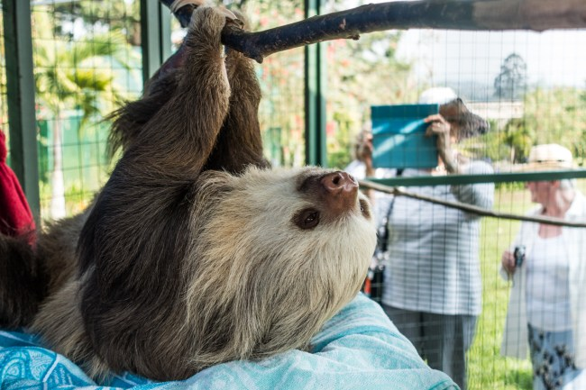 a two-toed sloth at the Toucan Rescue Ranch