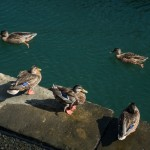 ducks in Boston harbor