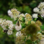 bees on flowers at Easternmost point of the USA at West Quoddy Lighthouse