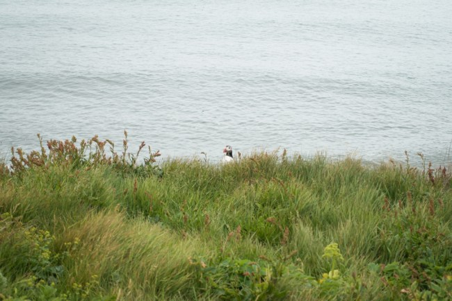Puffin Watching on Iceland's Southern Coast (Dyrhólaey, Iceland) -- photography by North to South