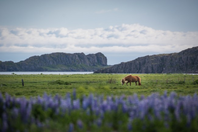 Icelandic Horse with purple lupines in Iceland