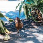 Key West, Florida chicken