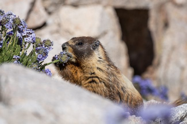Mt Whitney Marmot - Hiking Mt Whitney - northtosouth.us