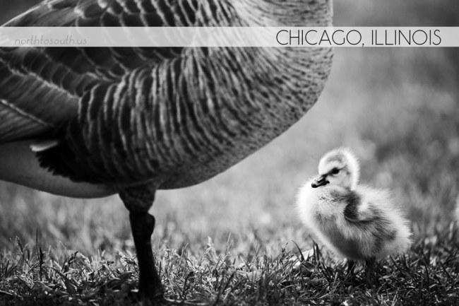Goslings in Chicago