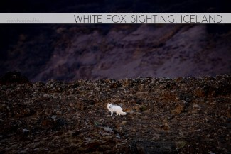 North to South's Year in Review 2019 | White Arctic Fox in Iceland